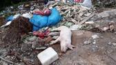 Nhiều xác heo nghi nhiễm dịch tả heo châu Phi bị vứt trên đường