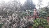 Vườn sầu riêng hàng trăm triệu đồng bị kẻ xấu triệt hạ