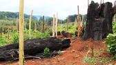 Nhiều chủ rừng khai khống diện tích để trục lợi hàng tỷ đồng