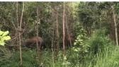 Voi rừng về phá nương rẫy, rượt đuổi người dân