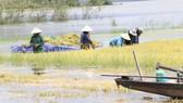 """Đắk Lắk: Người dân """"chạy đua"""" với nước lũ để cứu lúa"""