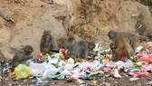Báo động tình trạng khỉ trên bán đảo Sơn Trà thay đổi tập tính