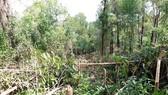 Bỗng dưng bị kẻ gian chặt phá hơn 4.000 cây keo 2 năm tuổi