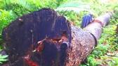 Cây gỗ đại thụ nằm cách chốt bảo vệ rừng 1,5km  bị đốn hạ nhưng không thấy chủ rừng ngăn chặn
