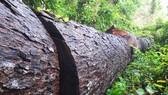 Vụ phá nát rừng Kbang: Tìm thấy 30m³ gỗ ở 2 điểm