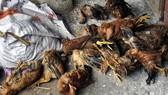 Cả làng nhập viện sau khi ăn thịt gà chết