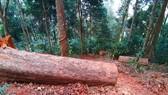 """Yêu cầu kiểm điểm trách nhiệm liên quan vụ gỗ """"khủng lồ"""" bị đốn hạ ở Kon Tum"""