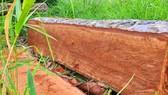 Rừng bị đốn hạ la liệt ở huyện biên giới Chư Prông (Gia Lai)