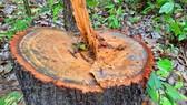 Chi cục Kiểm lâm vùng IV vào cuộc vụ rừng ở huyện biên giới bị đốn hạ