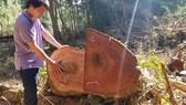 Tận thu gỗ dự án, cưa hạ thêm gỗ trái phép