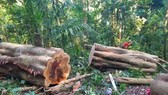 Khởi tố lâm tặc cưa hạ gỗ gõ cổ thụ