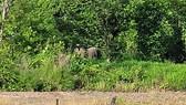 Voi rừng xuất hiện ở huyện biên giới Chư Prông: Voi đi từ huyện Ea Súp qua