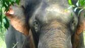 Đàn voi rừng đã đi khỏi xã biên giới Ia Mơ