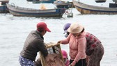 Ngư dân Đà Nẵng trúng đậm mùa ruốc biển