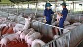 Heo giống quyết đinh hiệu quả kinh tế trong chăn nuôi