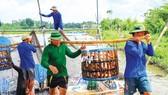 Nhiều diện tích nuôi cá tra ở huyện Châu Thành, tỉnh An Giang quá kỳ thu hoạch nhưng khó bán bởi giá thấp