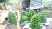 Tiểu thương thu mua rau của nông dân xã Gio Linh, huyện Gio Linh, tỉnh Quảng Trị