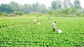 TPHCM gieo trồng 6.400ha vụ đông xuân