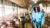 Trong quá trình tái đàn, các trang trại phải tuân thủ quy trình chăn nuôi an toàn sinh học nhằm đảm bảo không lây nhiễm dịch tả heo châu Phi