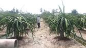 Thanh long chất lượng kém, giá thấp khiến nông dân thua lỗ