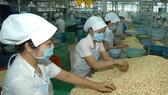 Chế biến hạt điều tại tỉnh Bình Phước. Ảnh: CAO THĂNG
