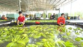 Thu hoạch chuối xuất khẩu tại Công ty TNHH một thành viên Bò sữa TPHCM, tại huyện Củ Chi. Ảnh: VIỆT DŨNG