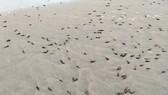 Khuyến cáo người dân hạn chế ăn ốc trôi dạt vào bờ biển