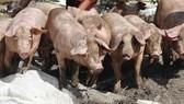 Hỗ trợ người chăn nuôi bị thiệt hại do dịch tả heo châu Phi