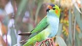 Loài vẹt mũ miện tím của Australia có nguy cơ tuyệt chủng