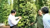 Tham gia vào HTX và sản xuất theo tiêu chuẩn VietGAP để xuất khẩu là hướng đi phát triển bền vững cây tiêu Đồng Nai. Ảnh: TIẾN MINH
