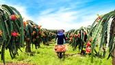 Thu hoạch thanh long ở xã Xuyên Mộc, huyện Xuyên Mộc (Bà Rịa - Vũng Tàu). Ảnh: VIẾT CHUNG