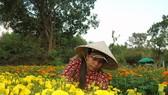 Làng cúc vạn thọ tại phường Bửu Long, TP Biên Hòa (tỉnh Đồng Nai) đang tất bật vào vụ thu hoạch hoa tết