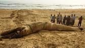Một cá voi dài 8m trôi dạt vào bờ biển Quảng Nam