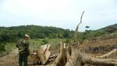 Hàng chục cây rừng tự nhiên ở Quảng Trị bị cưa hạ trái phép