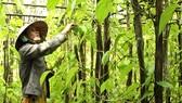 Lá trầu xuất khẩu sang Trung Quốc được giá, người trồng lãi cao