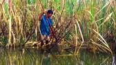 Hậu Giang: Nước dâng cao, hàng loạt liếp mía vàng lá