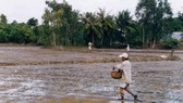 ĐBSCL thiếu khoảng 50.000 - 70.000 tấn lúa giống