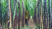 Chuyển hơn 1.100ha mía sang trồng cây khác