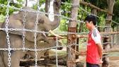 Voi rừng liên tiếp về tấn công voi nhà