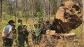 Hiện trường vụ đốn hạ gỗ hương