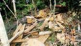 """Công an vào cuộc điều tra vụ """"xẻ thịt"""" rừng dổi cổ thụ tại Bình Định"""