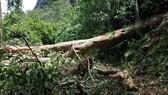Lốc xoáy quật ngã cây cổ thụ, người vợ trẻ tử nạn khi cùng chồng đi chăn dê