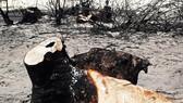Nhiều cây dương cổ thụ có đường kính rất lớn bị cưa sát cội, nằm trơ gan giữa cát trắng. Ảnh: NGỌC OAI