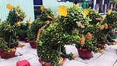 Ngắm bonsai quất tạo hình chuột độc đáo ở Bình Định