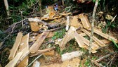 3 người phá rừng phòng hộ bị phạt 250 triệu đồng
