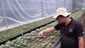 Áp dụng khoa học kỹ thuật vào ươm giống sâm Ngọc Linh
