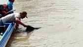 Người dân kéo cá heo bị mắc cạn đưa ra biển. Ảnh: VĨNH THUẬN