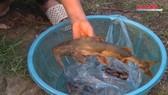 Lào Cai xuất hiện cá chết bất thường ở thượng nguồn sông Hồng