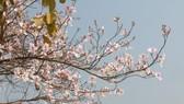 Ngắm hoa ban rợp trời Tây Bắc tại Lễ hội hoa ban 2020
