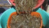 Tôm thẻ chân trắng dễ lây lan mầm bệnh, nên ngành chức năng không khuyến cáo nuôi trong vùng ngọt.